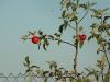 1.Apfel Säles u. Beispiel Krebs an Bäumen