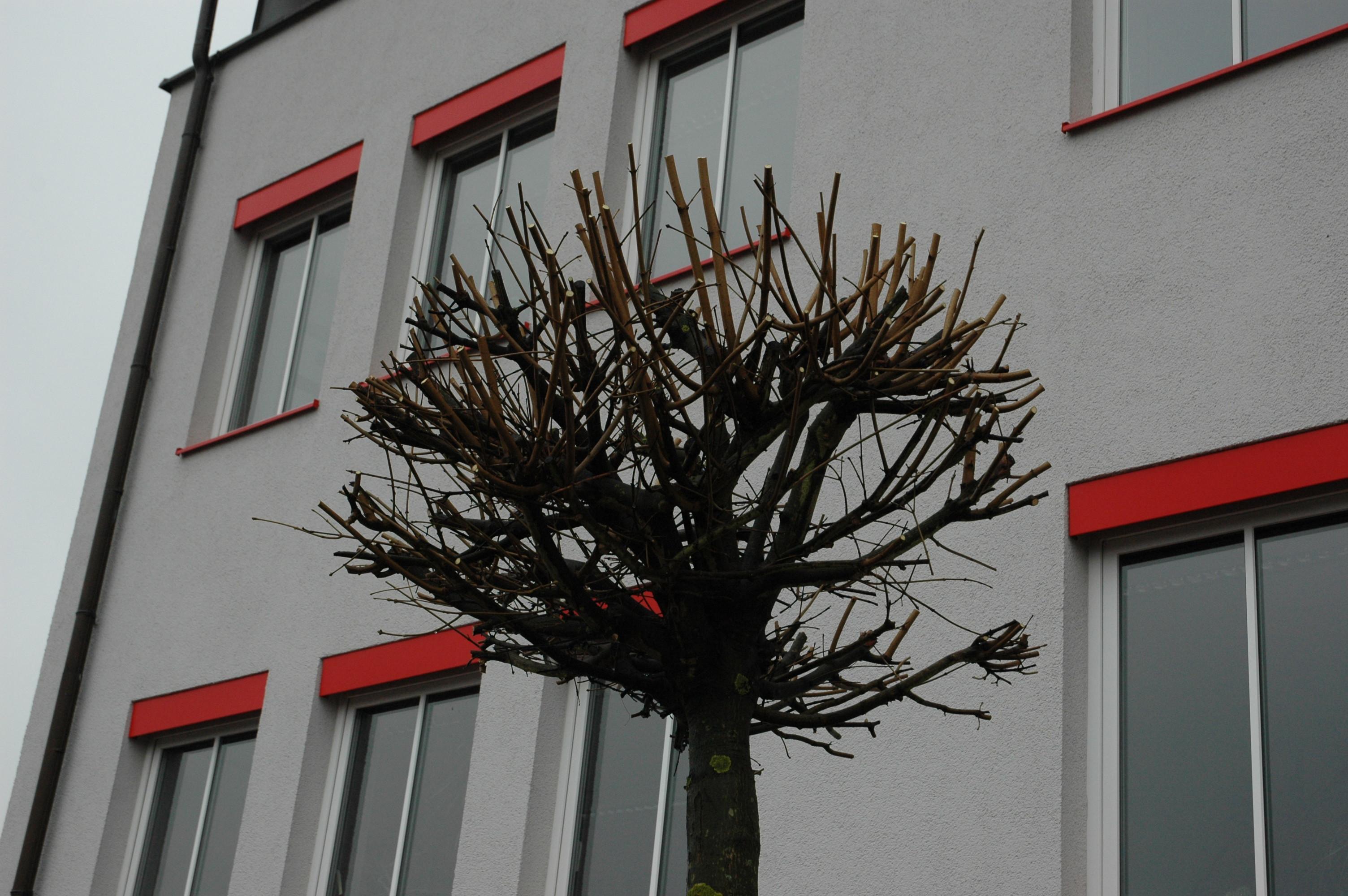 ^ Kugelahorn, Spitzahorn und andere Bäume bei Bien-Zenker G in ...